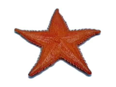 fi054 Starfish Small Orange (7.5cm) (end of line)